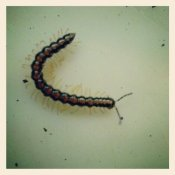 We think the type of centipede that bit him.  It looks little but it easily hides in bedding.